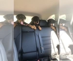 Rottweiler Puppy for sale in STOCKTON, NY, USA