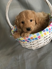 Goldendoodle (Miniature) Puppy For Sale in BELLEVILLE, PA, USA