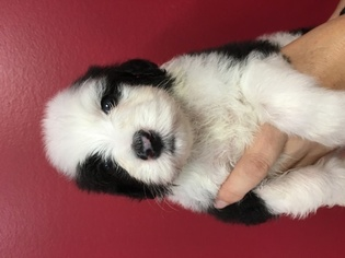 Sheepadoodle Puppy for sale in LAYTON, UT, USA