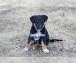 Puppy 6 Australian Cattle Dog-German Shepherd Dog Mix