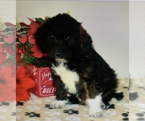 Poogle Mix Puppy for Sale in ATL, Georgia USA