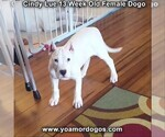 Small Photo #181 Dogo Argentino Puppy For Sale in PINEVILLE, MO, USA