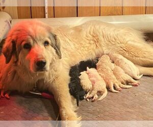 Mother of the Pyredoodle puppies born on 03/23/2021