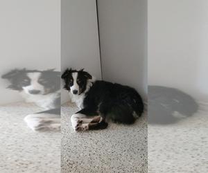 Father of the Australian Shepherd-Siberian Husky Mix puppies born on 10/12/2020