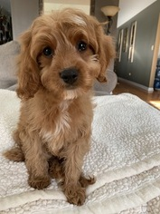 Cavalier King Charles Spaniel-Poodle (Toy) Mix Puppy for sale in RICHMOND, IL, USA