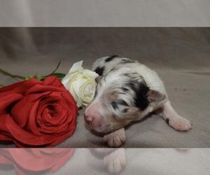 Australian Shepherd Dog for Adoption in EAST CANTON, Ohio USA