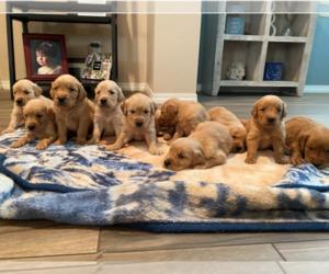 Golden Retriever Puppy for Sale in PERRIS, California USA