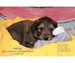Puppy 5 English Shepherd