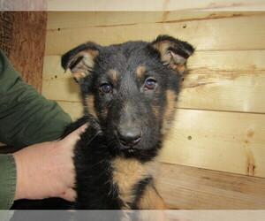 German Shepherd Dog Puppy for sale in JACKSON, MI, USA