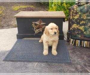 Golden Retriever Puppy for sale in PHILA, PA, USA