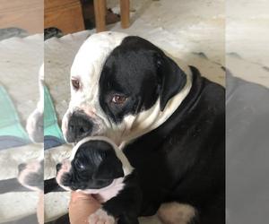 Alapaha Blue Blood Bulldog Puppy for Sale in SULLIVAN, Ohio USA