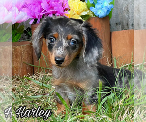 Dachshund Dog for Adoption in MIAMI, Florida USA