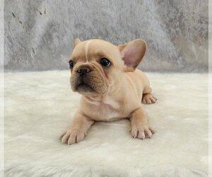 French Bulldog Puppy for sale in SANTA BARBARA, CA, USA