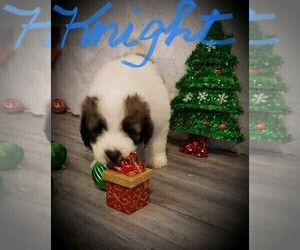 Pyredoodle Puppy for sale in GLENCOE, AR, USA