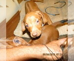 Puppy 5 Rhodesian Ridgeback