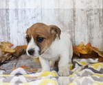 Small #2 Jack Russell Terrier-Jug Mix
