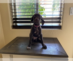 German Shorthaired Pointer Puppy for sale in MAYWOOD, CA, USA