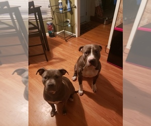 Mother of the American Pit Bull Terrier puppies born on 09/18/2020
