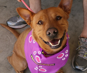 Princess Elsa - Carolina Dog / Hound / Mixed (long coat) Dog For Adoption