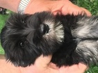 Schnauzer (Miniature) Puppy For Sale in LYONS, MI, USA
