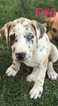 Great Dane Puppy For Sale in BAKERSFIELD, CA, USA