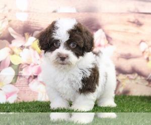 Poovanese Puppy for sale in MARIETTA, GA, USA