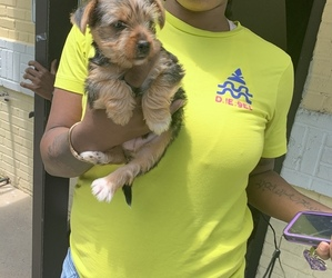Yorkshire Terrier Puppy for sale in COLUMBIA, MD, USA