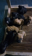 Staffordshire Bull Terrier Puppy For Sale in BROOKLYN, MD
