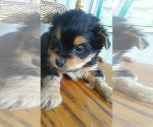 Yorkie-Poo Puppy for sale in ALLEN PARK, MI, USA