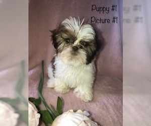 Shih Tzu Puppy for sale in OWINGSVILLE, KY, USA