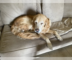 Father of the Golden Retriever puppies born on 02/05/2021