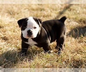 Olde English Bulldogge Puppy for sale in HIGHMORE, SD, USA