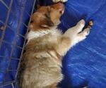 Puppy 4 Collie