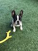 French Bulldog Puppy For Sale in ORANGE, CA