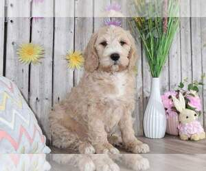 Pyredoodle Puppy for sale in MOUNT VERNON, OH, USA