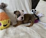 Small #14 English Bulldog