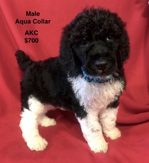 Poodle (Standard) Puppy For Sale in SMITHVILLE, MS, USA