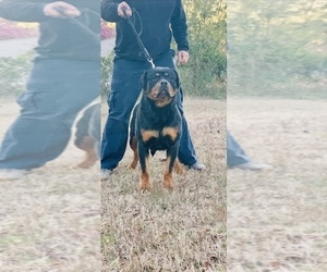 Mother of the Rottweiler puppies born on 04/08/2019