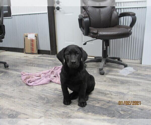 Medium Photo #5 Labrador Retriever Puppy For Sale in SARCOXIE, MO, USA