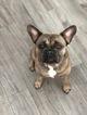 French Bulldog Puppy For Sale in WEST PALM BEACH, FL, USA