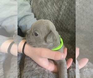 French Bulldog Puppy for Sale in MAYVILLE, Michigan USA