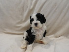 Portuguese Water Dog Puppy For Sale in YUMA, AZ, USA