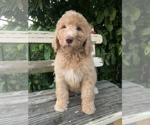 Labradoodle Puppy for Sale in CHANTILLY, Virginia USA