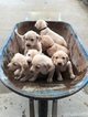 Labrador Retriever Puppy For Sale in O FALLON, MO, USA