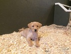 Labrador Retriever Puppy For Sale in WESTBY, WI, USA