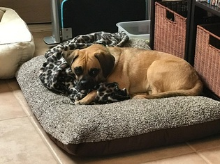 Puggle Puppy for sale in LAS VEGAS, NV, USA