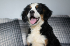 Bernese Mountain Dog Puppy For Sale in KENT, OH, USA