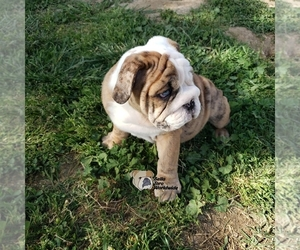 English Bulldog Puppy for sale in MENIFEE, CA, USA