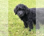 Puppy 1 Newfoundland-Poodle (Standard) Mix