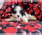 Puppy 3 Cava-Tzu